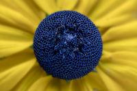 Rudbeckia fulgens, center of a flowerhead