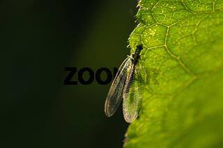 Grünes Perlenauge (Chrysopa perla)