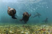 Kalifornische Seeloewen, San Benito Island