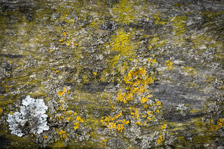 Wooden Wall Board Background covered with green moss and yellow lichen. Nice Spotlight vignetting.