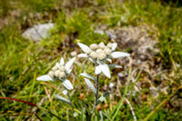 Edelweiss flowers in Vanoise national Park, France