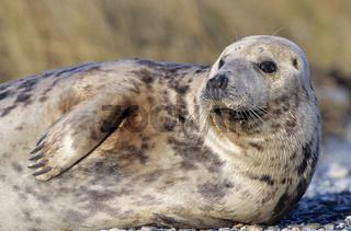 Kegelrobben-Weibchen ruht am Strand / Grey Seal cow resting on the beach - (Gray Seal - Horsehead Seal) / Halichoerus grypus