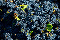 freshly harvested grapes for wine production