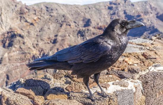 Canary raven on La Palma