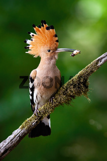 Eurasian hoopoe sitting on bough with moss.