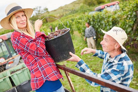 Erntehelfer bei der Traubenlese im Weinberg