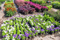 Sale of seedlings of different decorative flowers