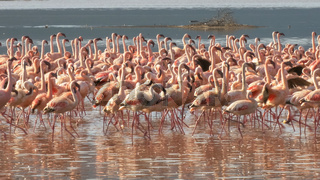 close up of lesser flamingos marching on the shore of lake bogoria in kenya