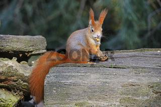 Eichhörnchen (Sciurus vulgaris), frisst Nuss, Brandenburg,  Deut