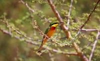 little bee-eater, Murchison Falls National Park Uganda (Merops pusillus)