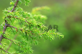 Green juniper bushes in the north finland forest