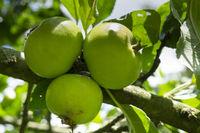 Apple at a tree
