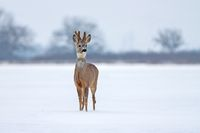 Roe deer buck in winter on snow from front view.