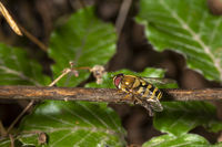 Hover fly sits on a beech branch between blurred green beech leaves