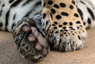 Jaguar Tatzen