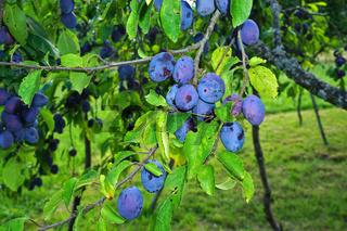 Zwetschgen, Prunus domestica, european plum