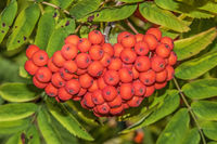 Mountain ash 'Sorbus aucuparia'