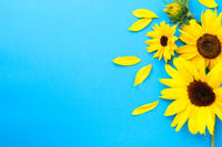 Yellow Fresh Sunflowers Composition On Blue Paper