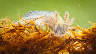 Danube crested newt larva swimming in swamp from close up.