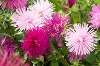 Flower pink aster