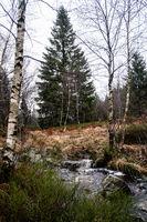 Babling brook landscape withhuge pine