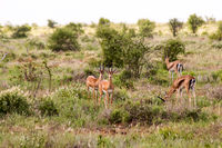 A herd of Impala antelopes seen in the savannah