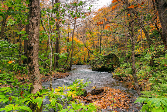 View of Oirase River flow passing rocks in the colorful foliage of autumn forest