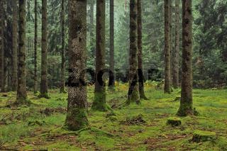 Mit Moos bewachsener Fichtenwald