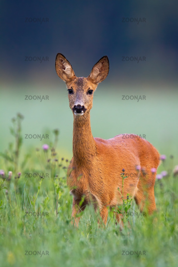 Adorable roe deer standing in green grass with violet thistles around from front