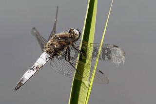 Spitzenfleck am Teich