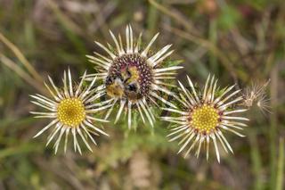 Ackerhummel (Bombus pascuorum), Carlina vulgaris