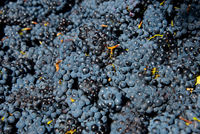 red grapes for wine production, south africa