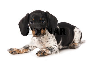 Miniature piebald dachshund isolated on white background
