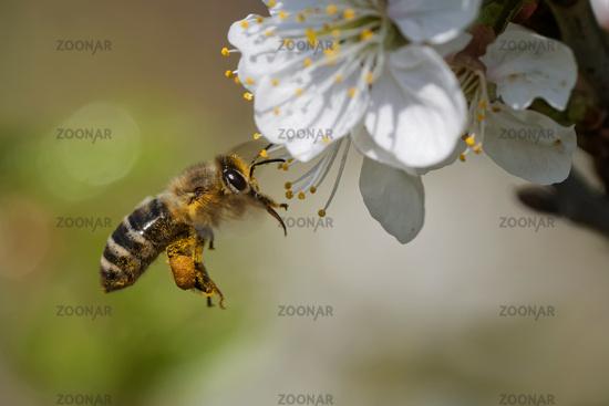 Honey bee in the garden