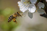 Honigbiene im Garten