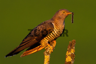 Surprised common cuckoo male holding a caterpillar in beak at sunset
