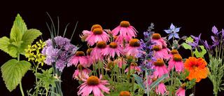 Heilpflanzenarrangement, Roter Sonnenhut;