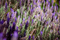 Beautiful close up bokeh of colorful lavender field with only one bee pollinating the violet and purple flowers