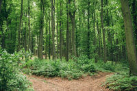 Tranquil scene in the deep green beech forest with a path trail outdoors. Fork road and junction con
