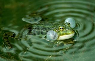 Wasserfrosch im Froschteich