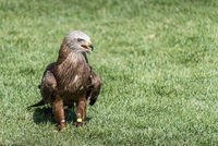 Black kite on the ground and wings closed