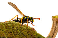 Side view of a crawling field wasp on the leaf margin isolated on white