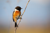 Male european stonechat sitting on plant stem with blue sky in background