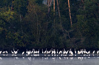 Great Egrets and Grey Herons at the bank of a pond