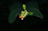 symphoricarpos albus , close-up of a snow berry branch with green early fruits