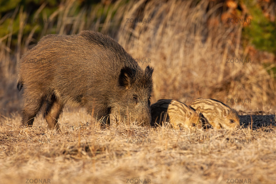Wild boar family sniffing on field in springtime.