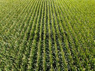 Corn field aerial view