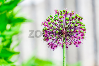 Marco close up of a purple Allium