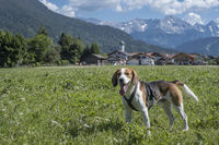 Beagle with Farchant Village