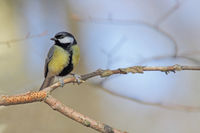 Great titmouse (Parus major)